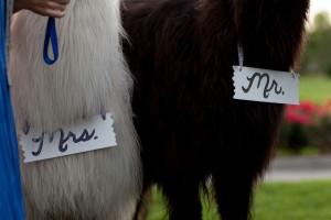 Offbeat_Whimsical_Wedding_Llamas_Grant_and_Deb_Photographers_19-h